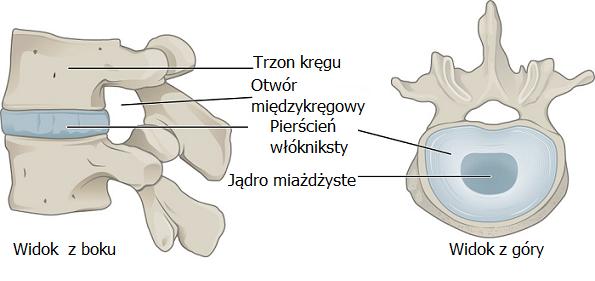 anatomia dysku międzykręgowego