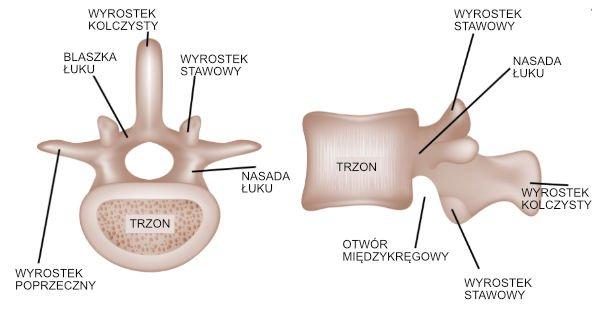 Budowa kręgosłupa – budowa kręgu lędźwiowego