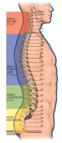 Odcinki kręgosłupa: lędźwiowy, szyjny, piersiowy - budowa kręgosłupa
