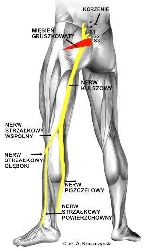 Schemat nerwu kulszowego – przebieg nerwu